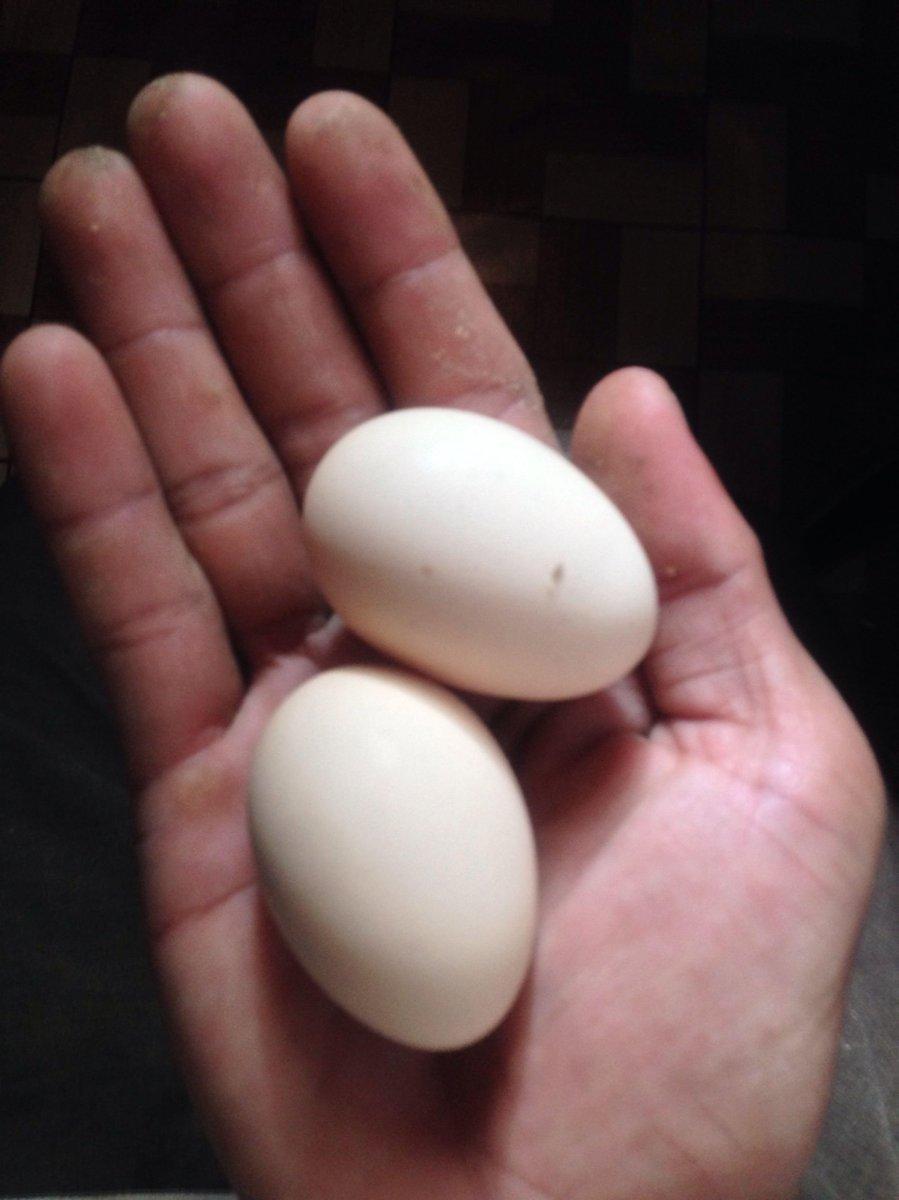Cukup 2 Telur Ayam Kampung Dan Sprite Bikin Istri Teriak Teriak Minta Ampun Inilah Dibalik Khasiat Telur Ayam Kampung Mengupasberita
